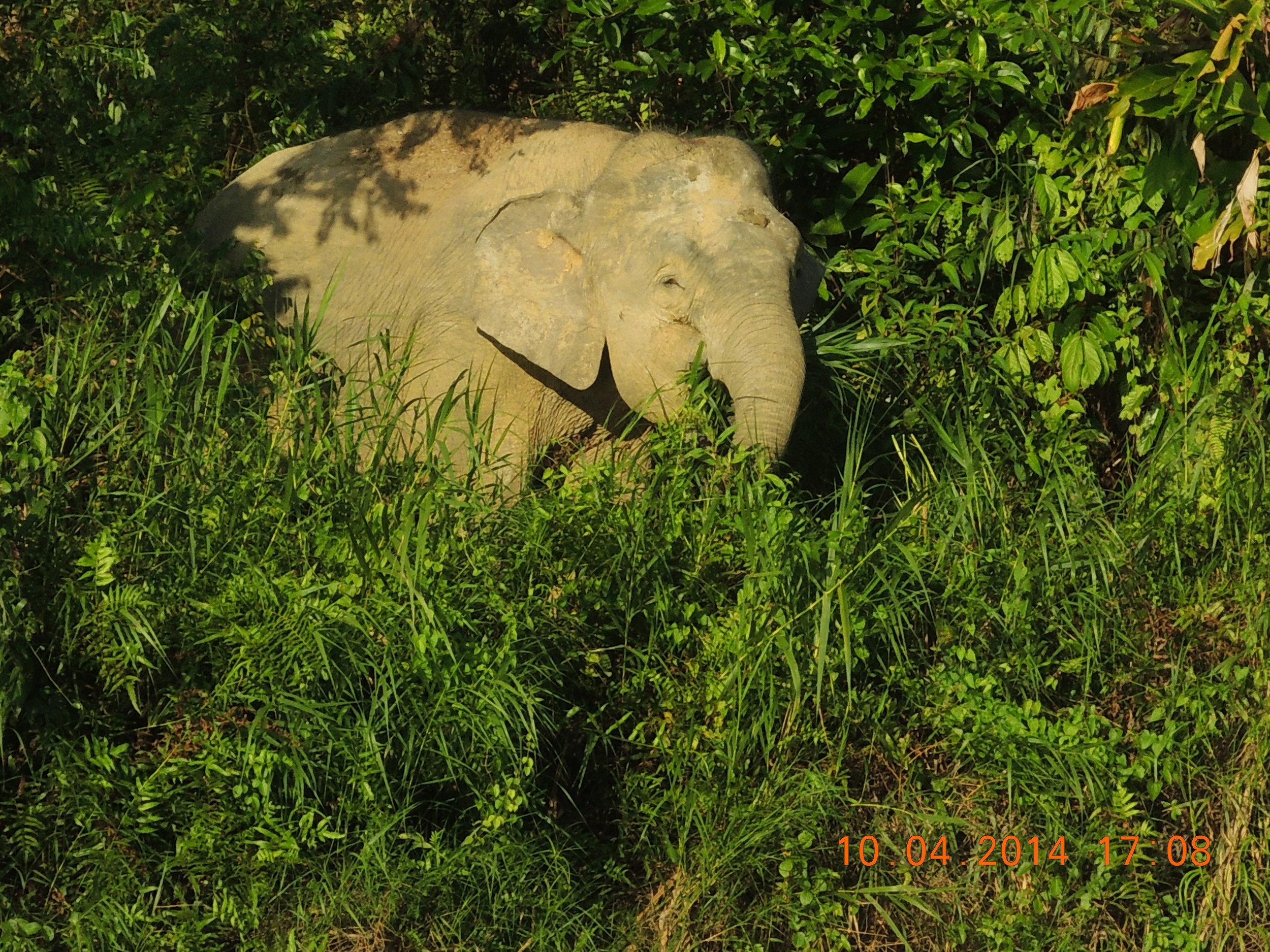 A young pygmy elephant