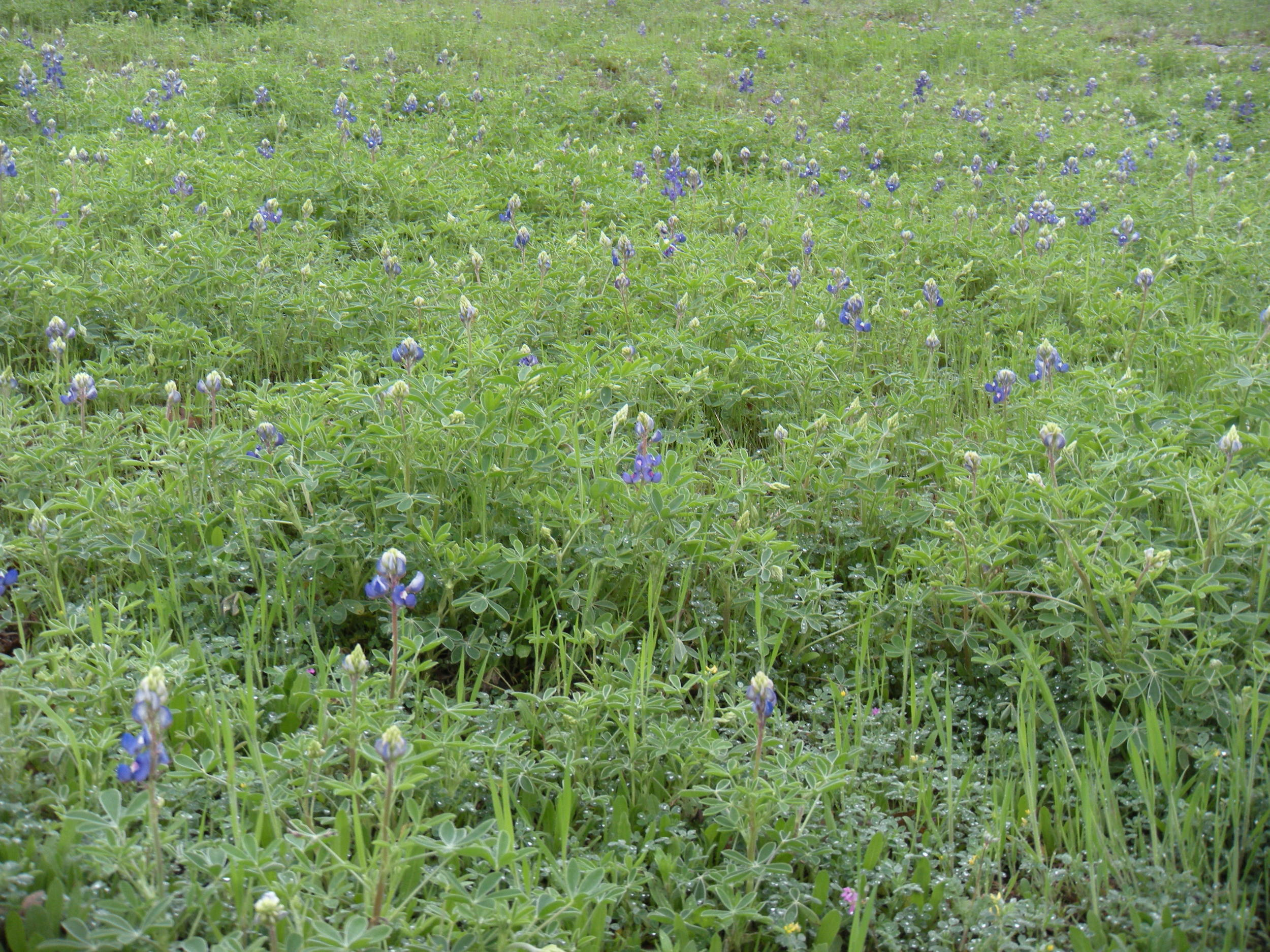 Bluebonnets and Indian paintbrush blanket the land adjacent to the highway between Columbus and Lake LBJ.  It's a colorful show.