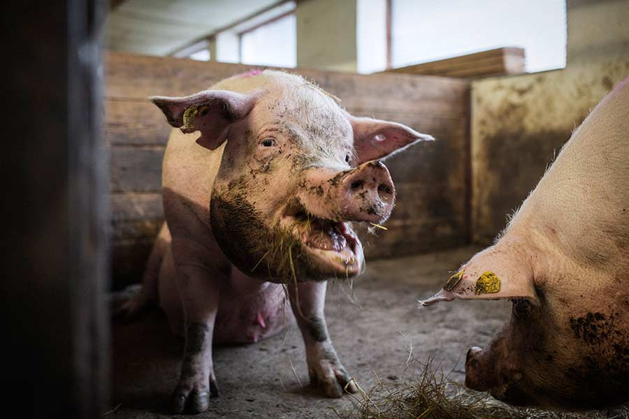 q-pigs-15.jpg