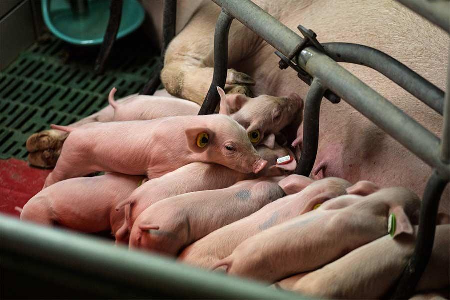 q-pigs-20.jpg