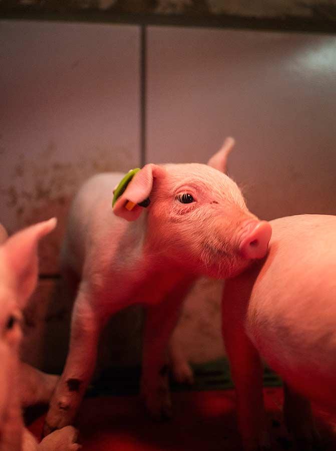 Sensor - Schweinezucht