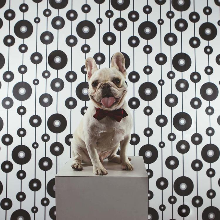 french bulldog cute dog puppy portrait gracie hagen