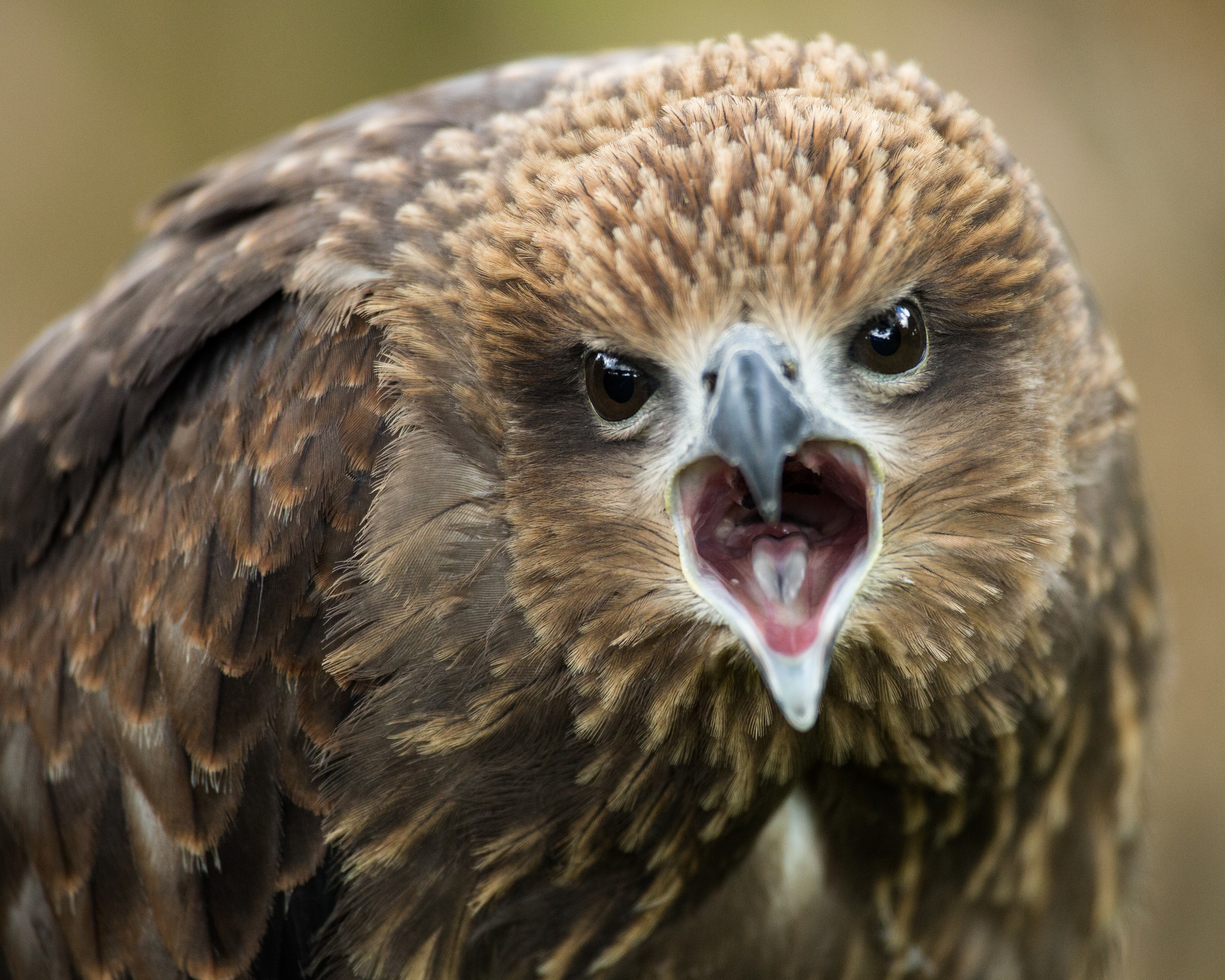 A remarkably vocal Brahminy Kite at the International Centre for Birds of Prey