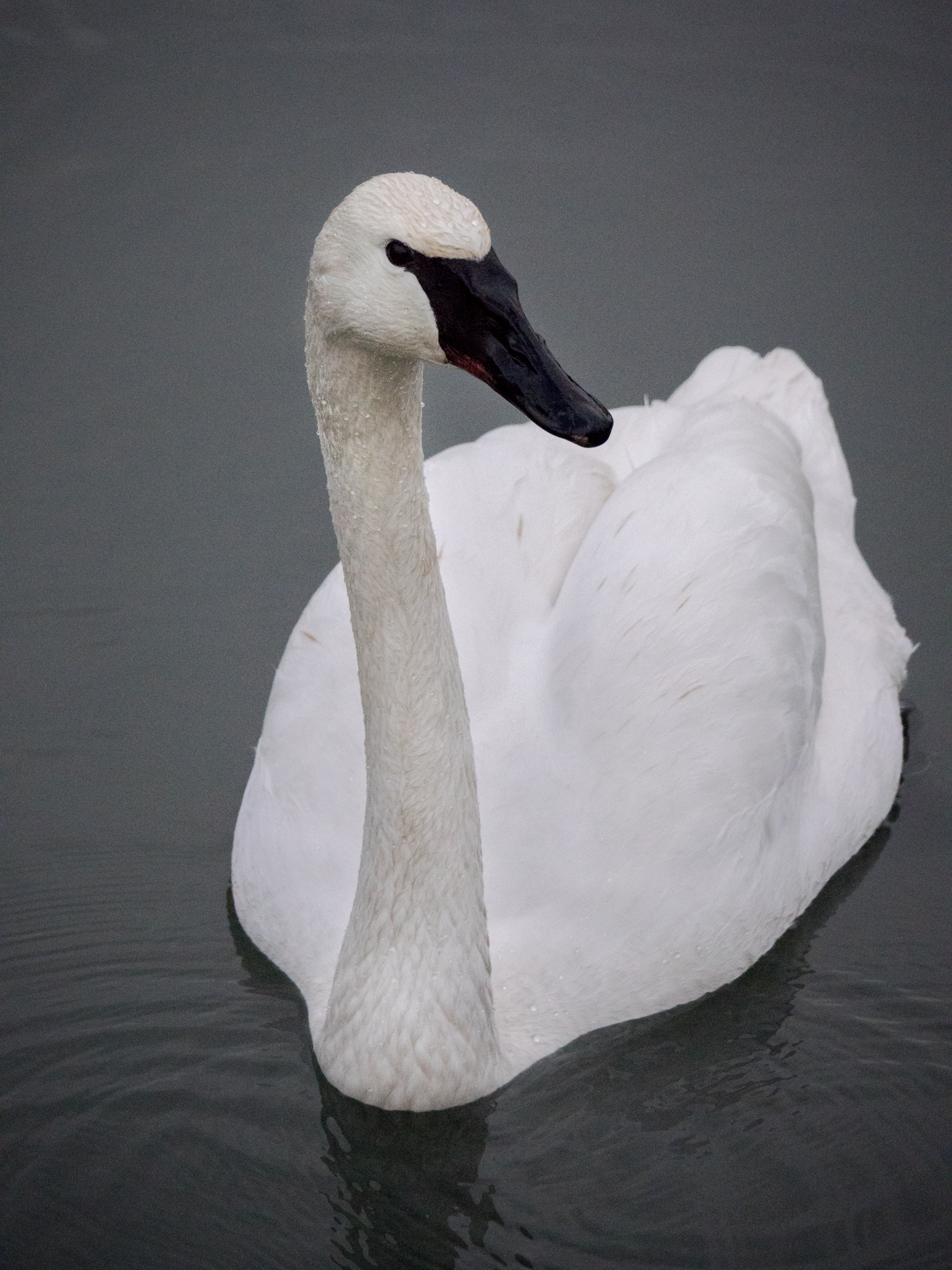 A quizzical look from one of the Trumpeter Swans