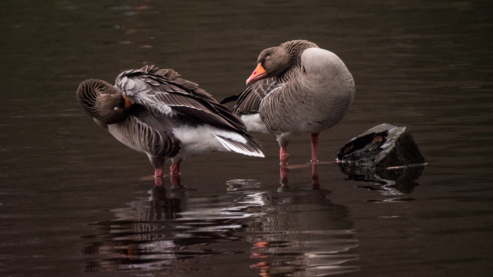 Mr & Mrs Greylag Goose having a good preen