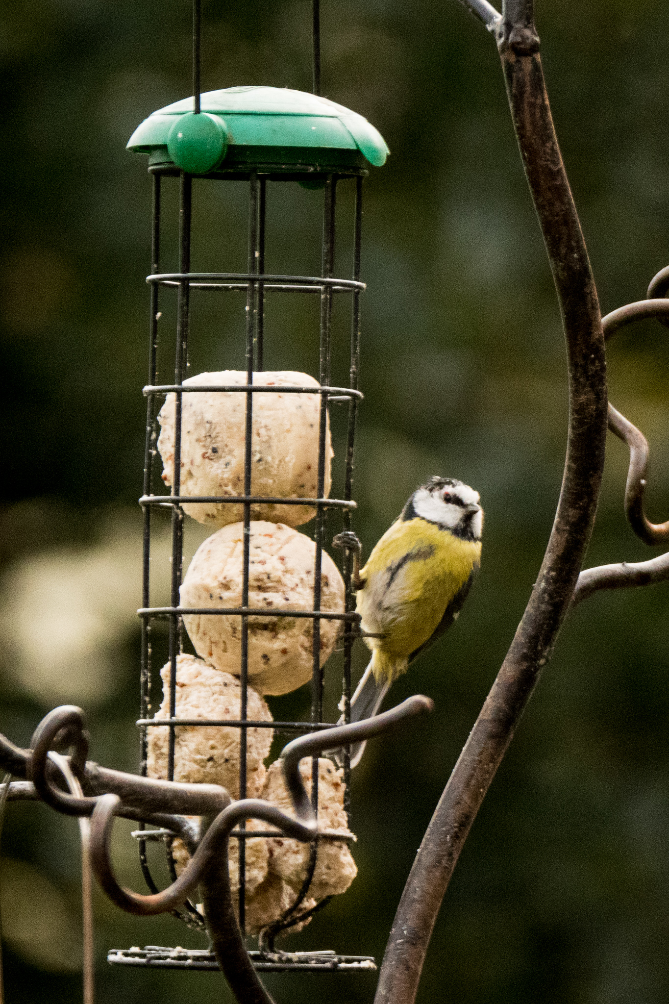 A bluetit tucking into the fatballs