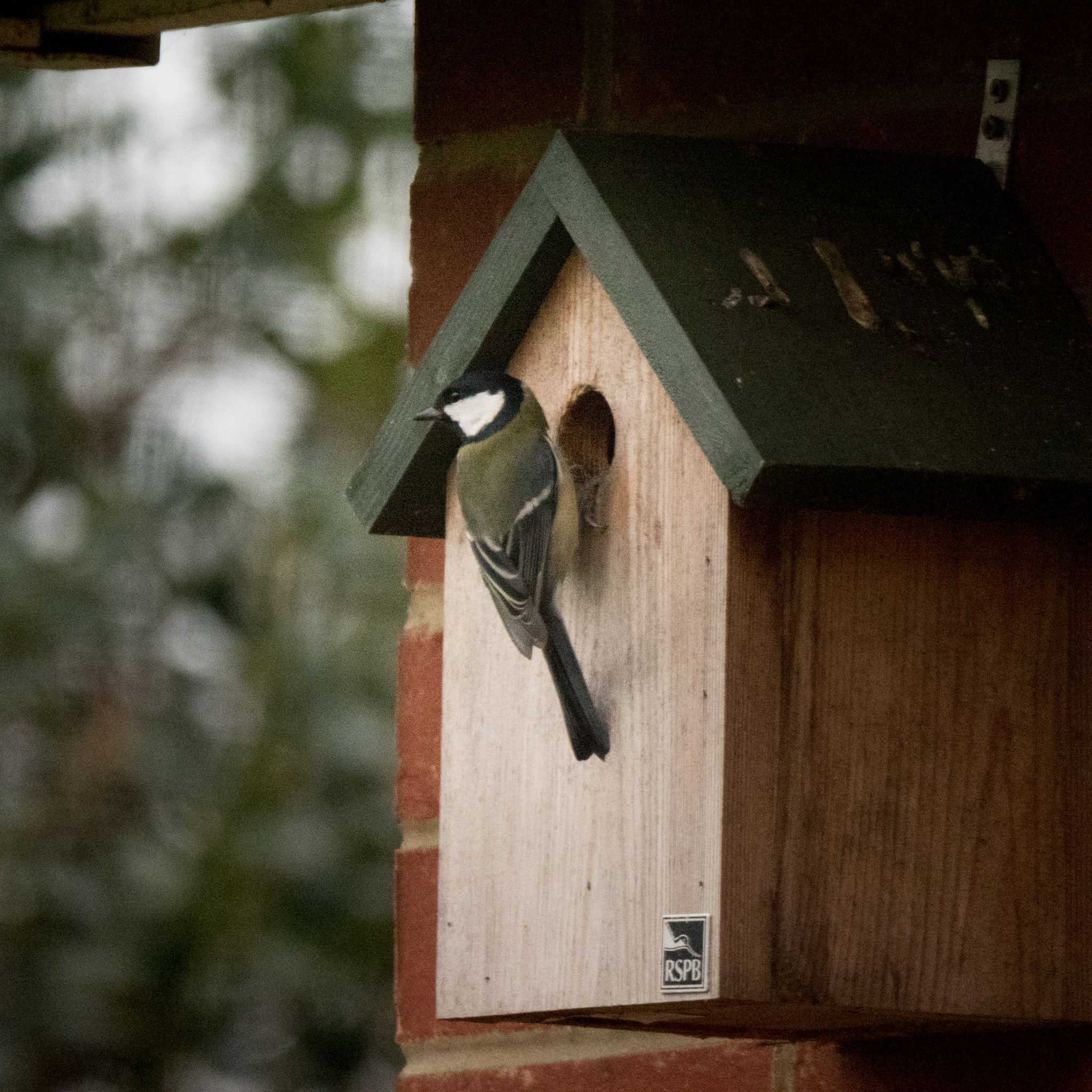 We had bluetits nesting in our bird box last year but it seems the local great tits are interested in taking up residence this year.
