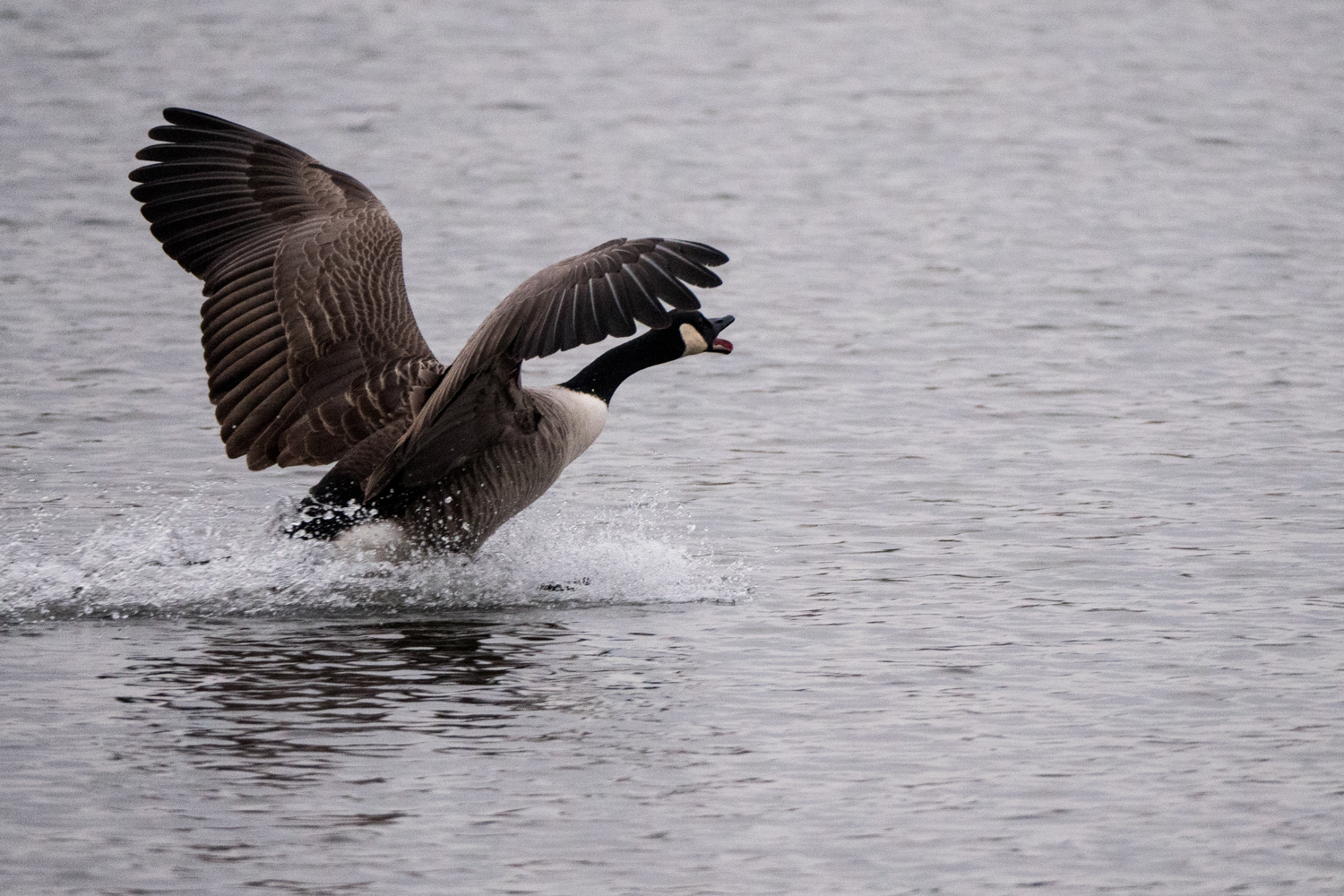 The light has been uniformly awful since I bought my camera but, even so, I was able to track this Canada Goose taking flight. Roll on springtime....