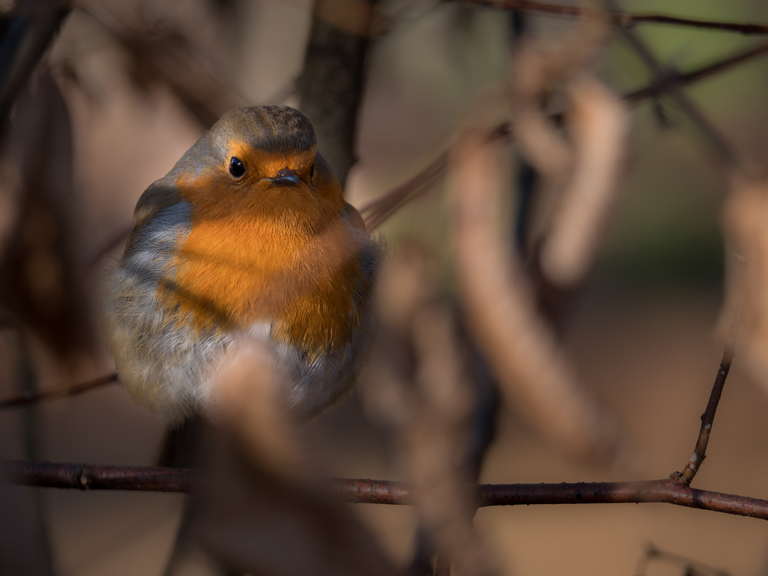 This robin, hiding from me in a beech hedge, should have challenged the G9's focusing abilities, with distractions all around,but it locked on swiftly and accurately.
