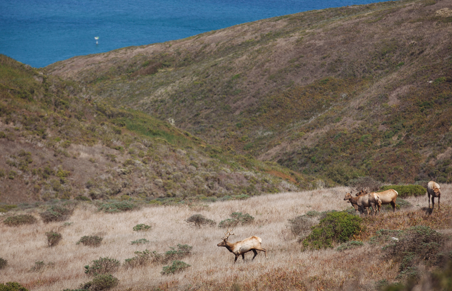 Elk at Point Reyes National Seashore.