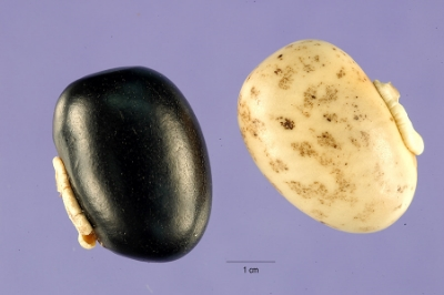 Mucuna Pruriens seeds of two different colors.