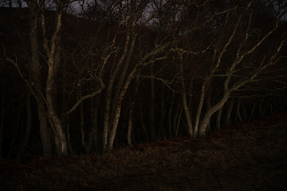 This Photo is from the same walk, at dusk. I am slowly feeling out a photo project or series based around local birch trees called  The Silver Darlings . Birch are early colonisers, and support more UK wildlife than any other tree species bar Oak.