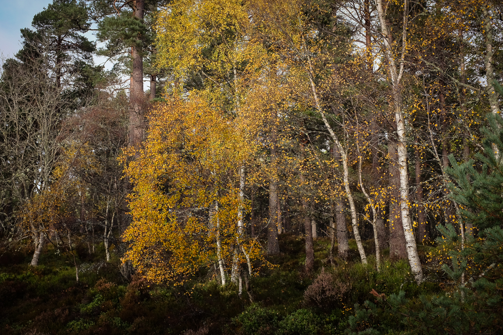 This Photo and the one below are both local to me and taken in autumn, but in different places. More  Silver Darlings  to finish seems appropriate. This scene is a wood local to Grantown, the other is on the slopes of the Feshie Hills, which are regenerating as the deer numbers come under control. Photographing trees is an excercise in relationships and simplicity. Keeping complex things simple a life skill worth practicing as much as I possibly can!