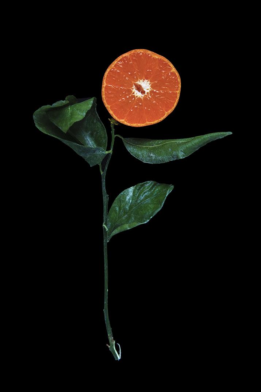 Murcott Mandarin, Day One