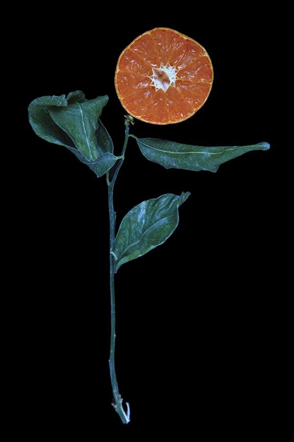 Murcott Mandarin, Day Eight