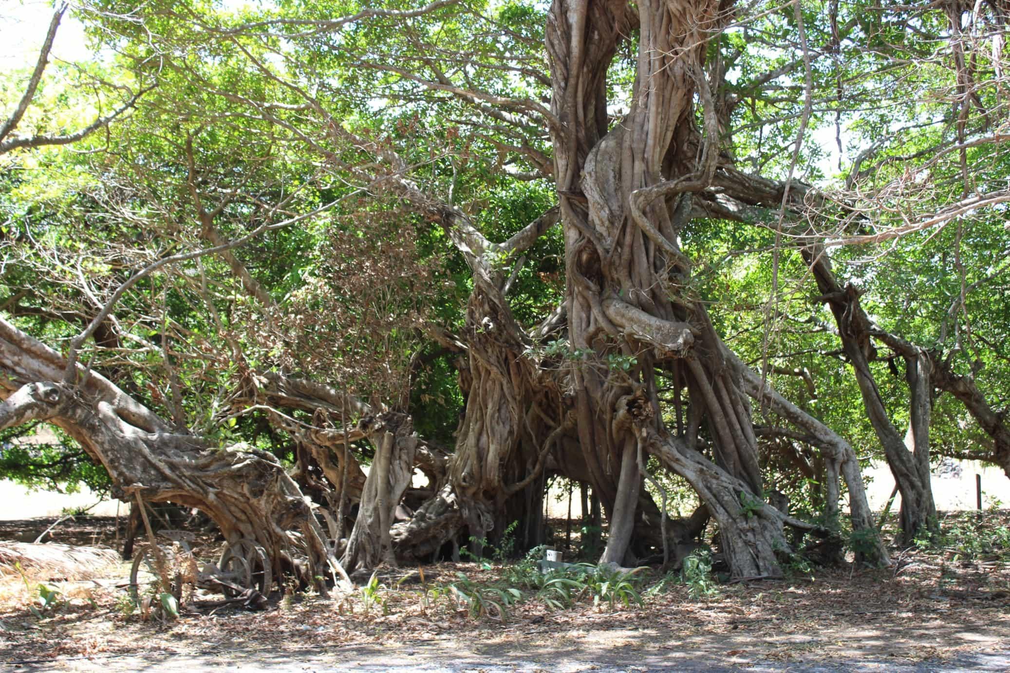 Banyan-tree-2.jpg