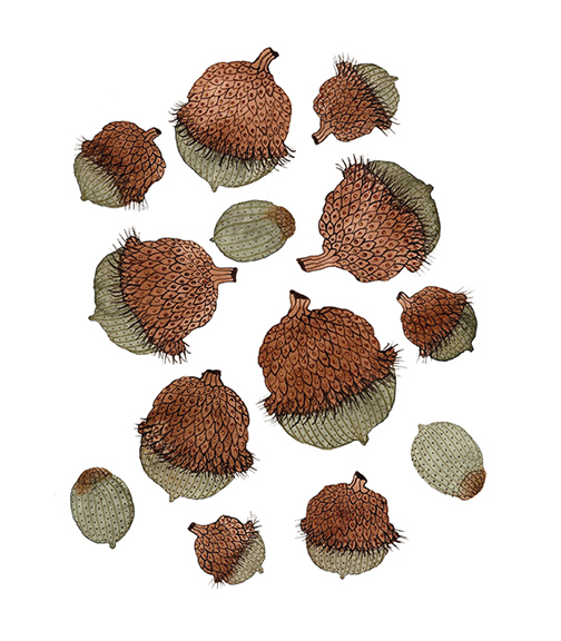 Burr Oak Seeds,  watercolor on paper, Golly Bard | Holly Ward Bimba   © all rights reserved
