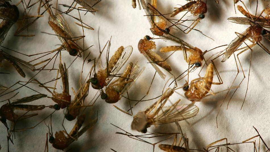 A field sample of mosquitoes that could carry West Nile Virus is seen at offices of the Riverside County Department of Environmental Health on April 26, 2007 in Hemet, California.
