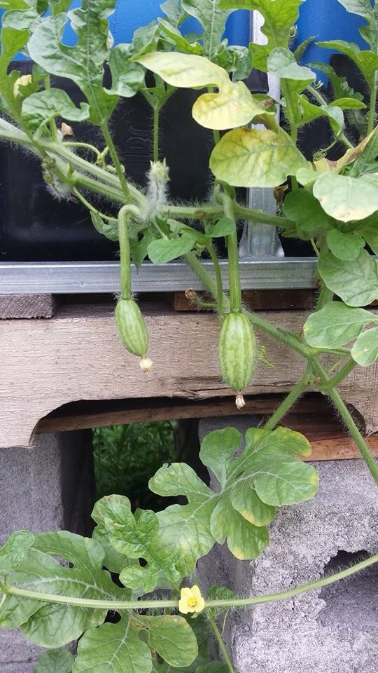 Aquaponic Watermelon are growing.