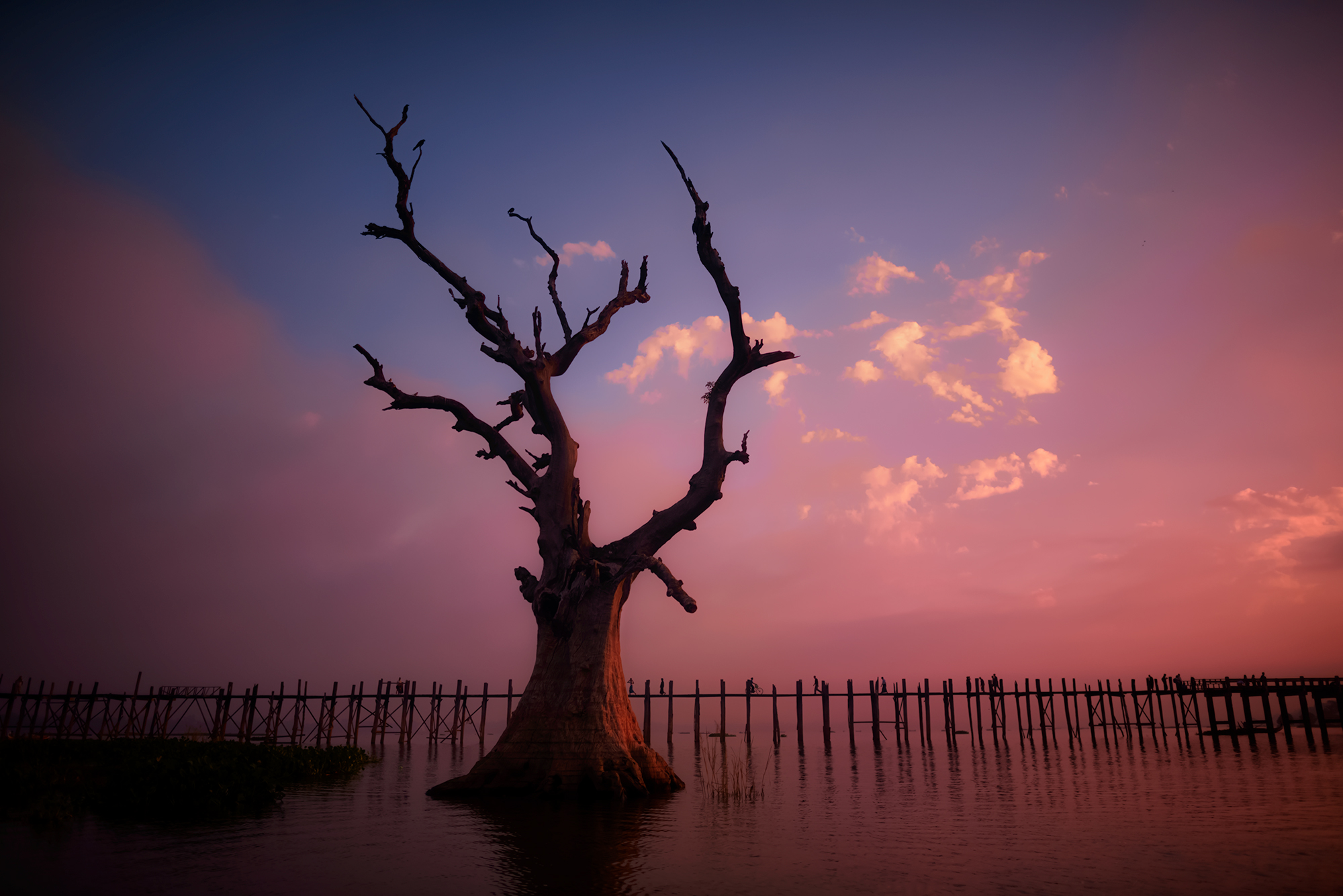 That Mandalay Tree  rises out of the water near U Bein's Bridge.