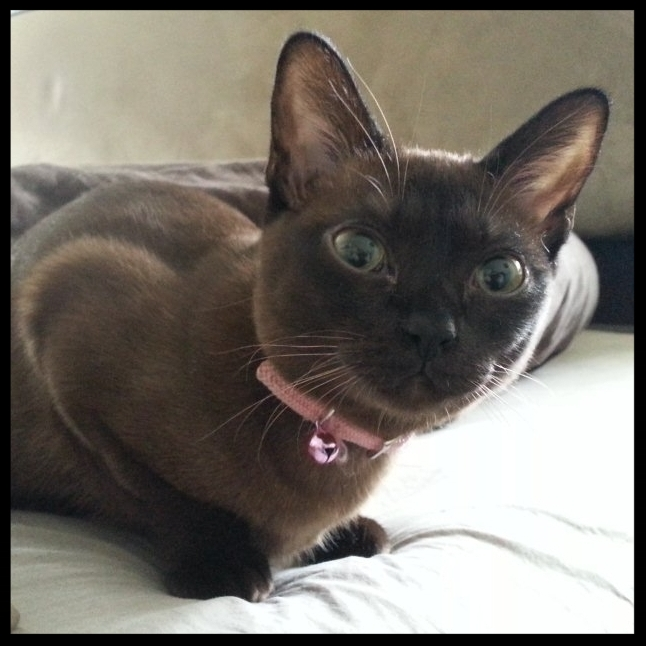 Coco, The Burmese!