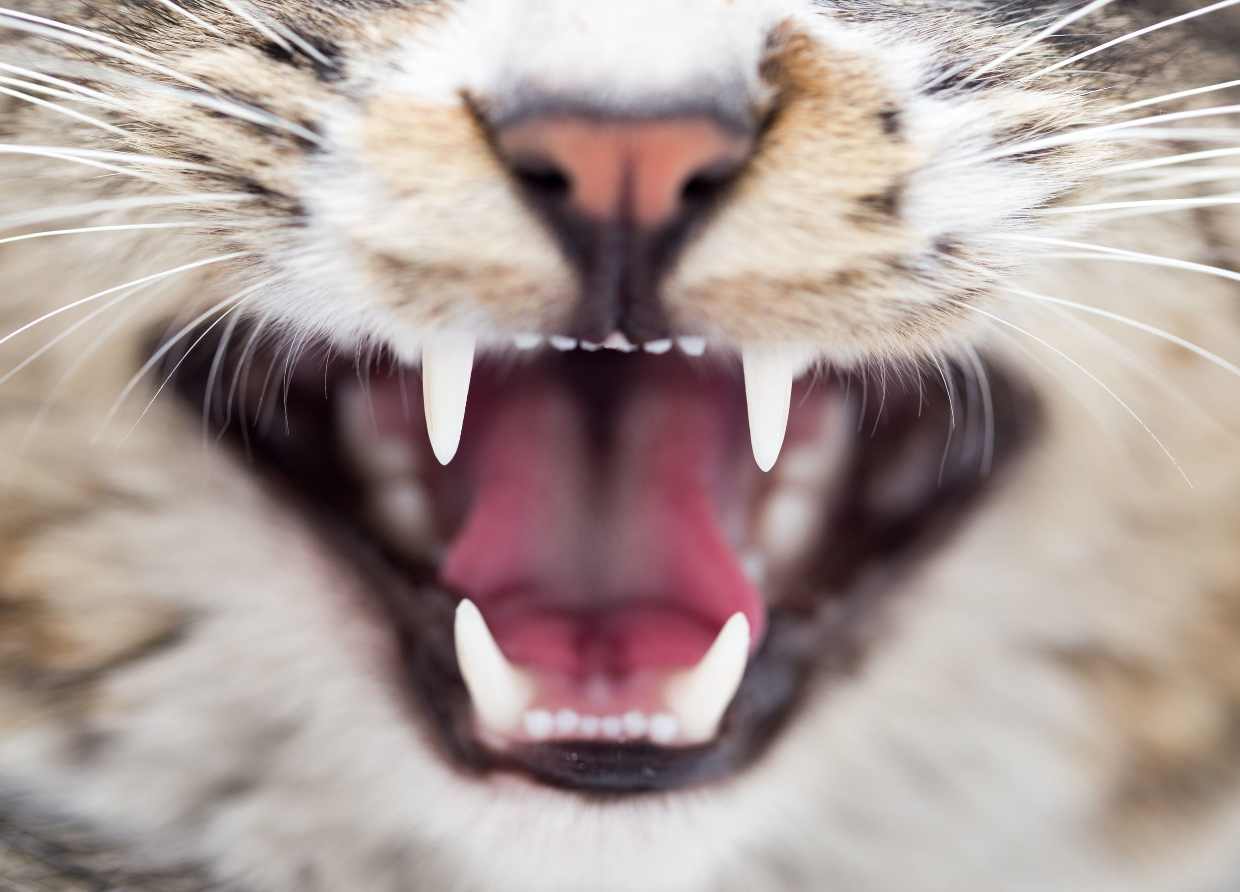 Full ServiceDental care  - Feline Dentistry