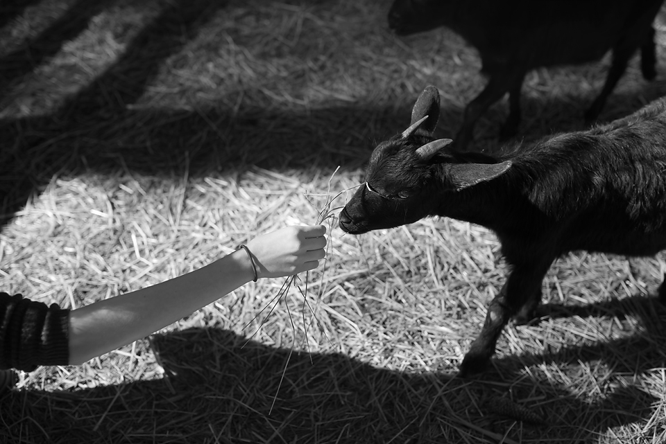 Goats at Serenbe