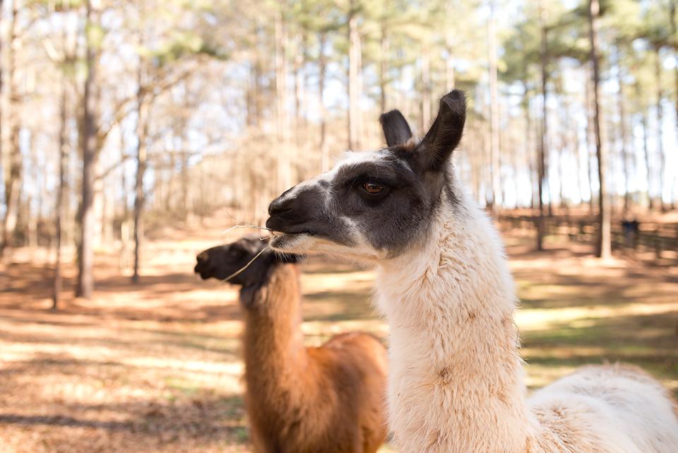 Llamas at Serenbe