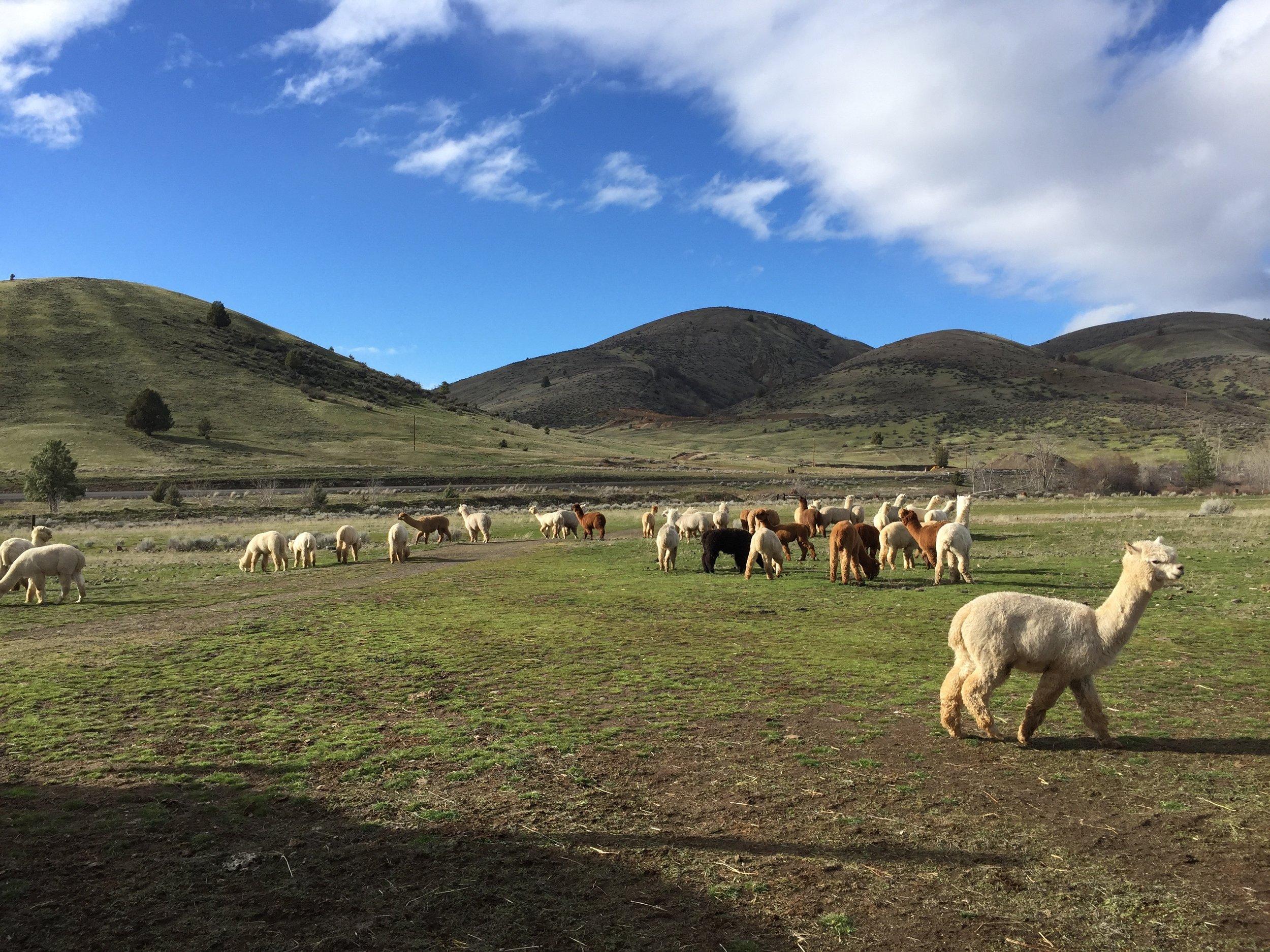 Free range herd of Huacayas...