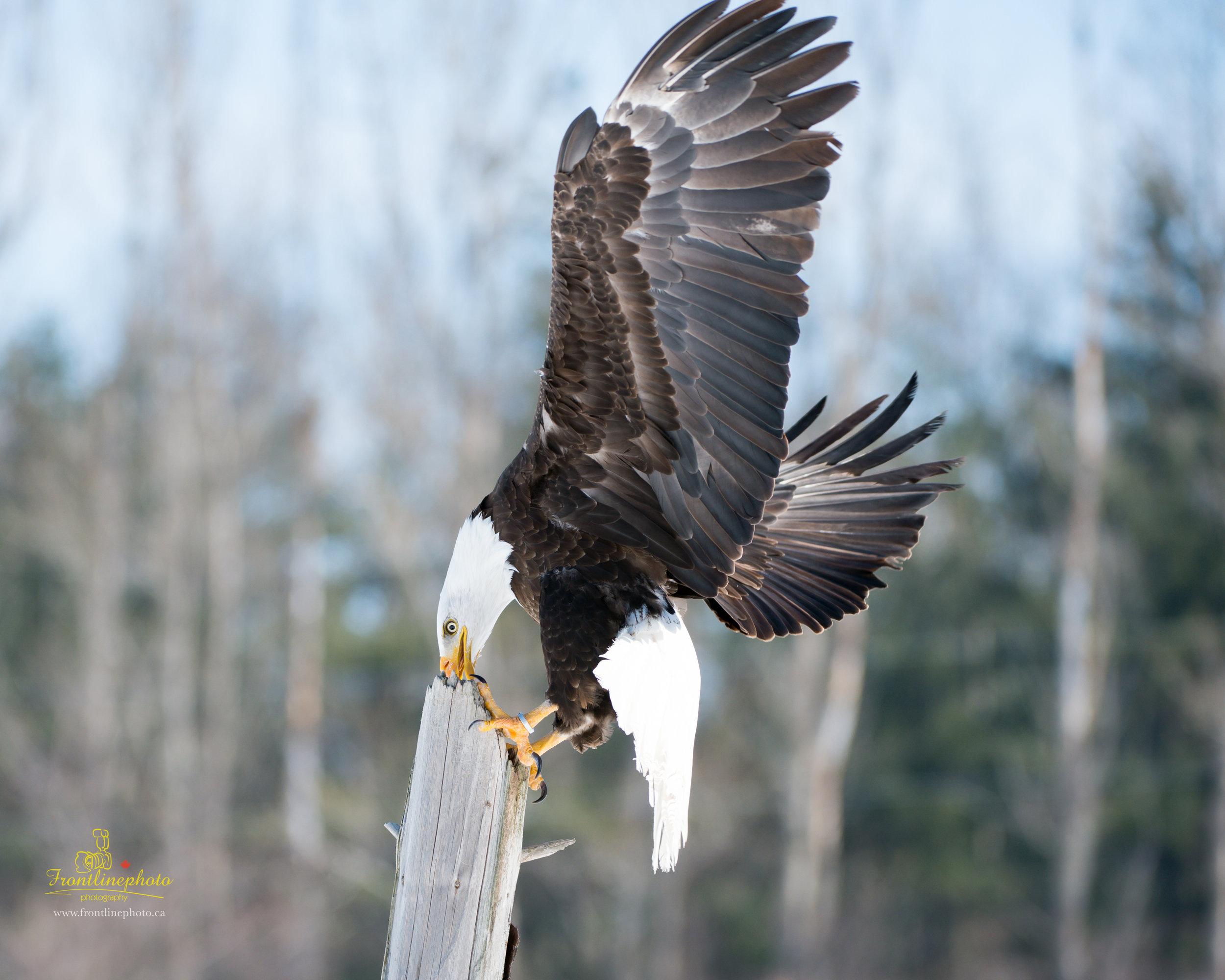 Canadian Raptors-1031.jpg