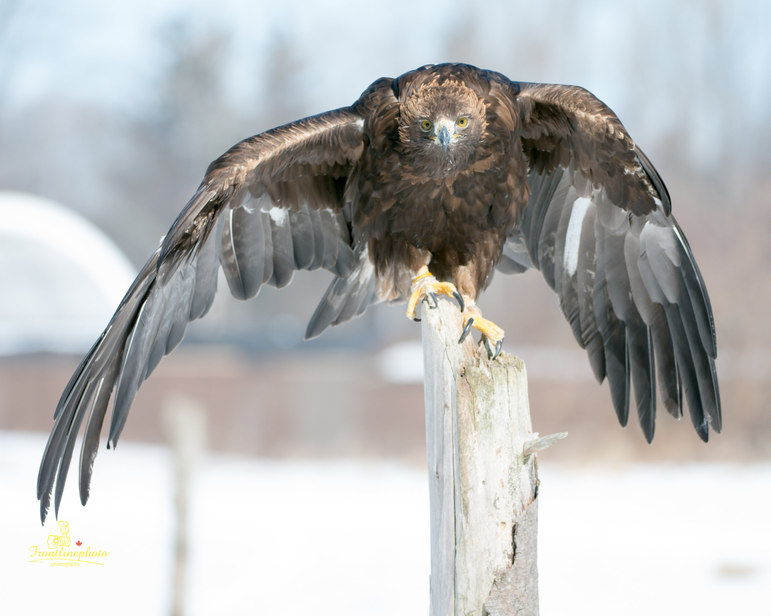 Hawk-1000.jpg