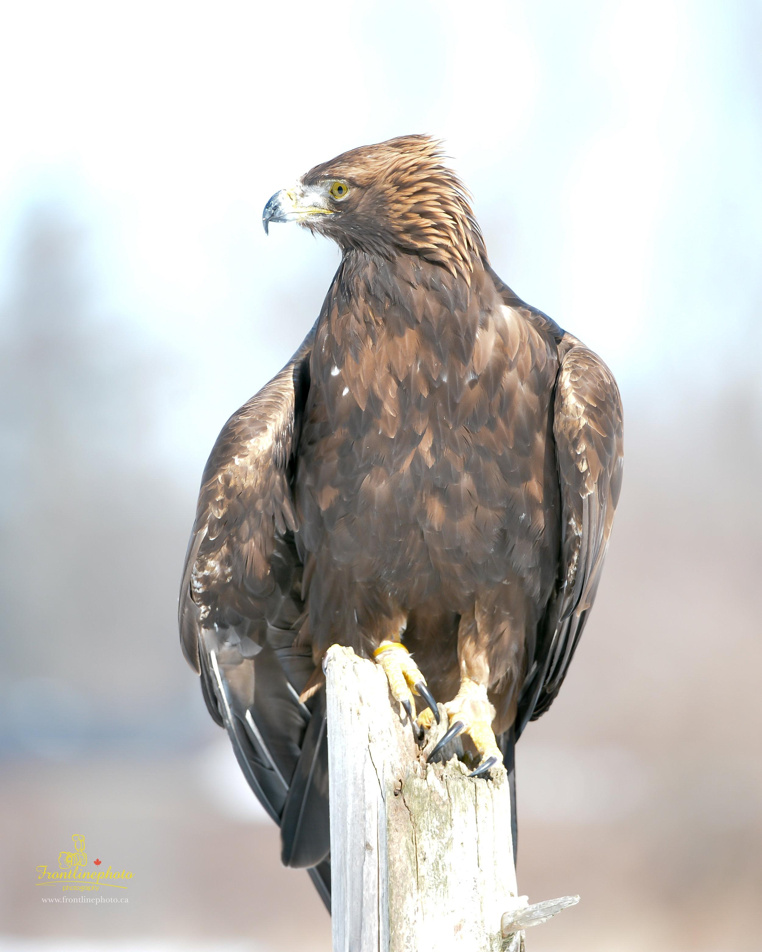 Hawk-1005.jpg