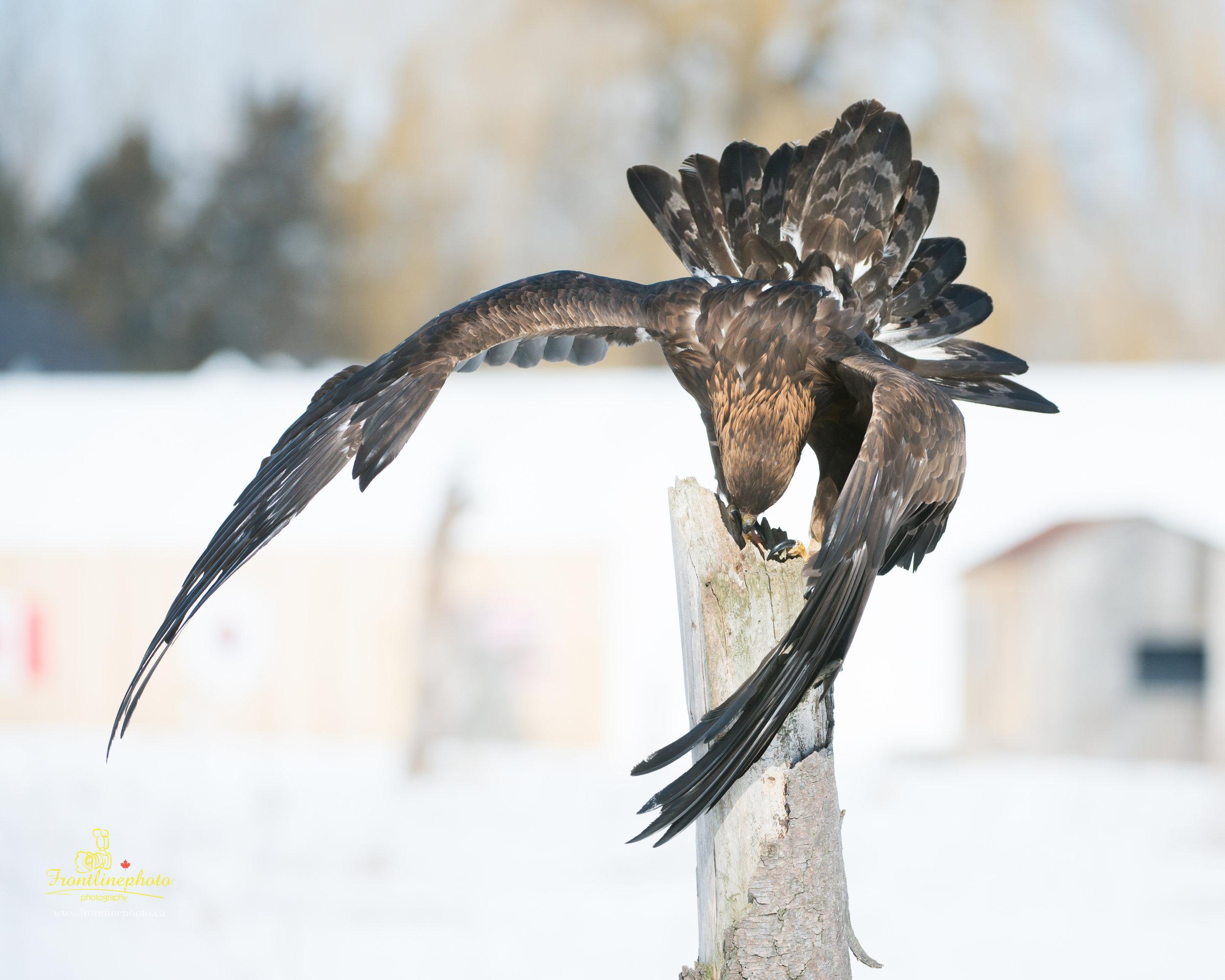 Hawk-1006.jpg