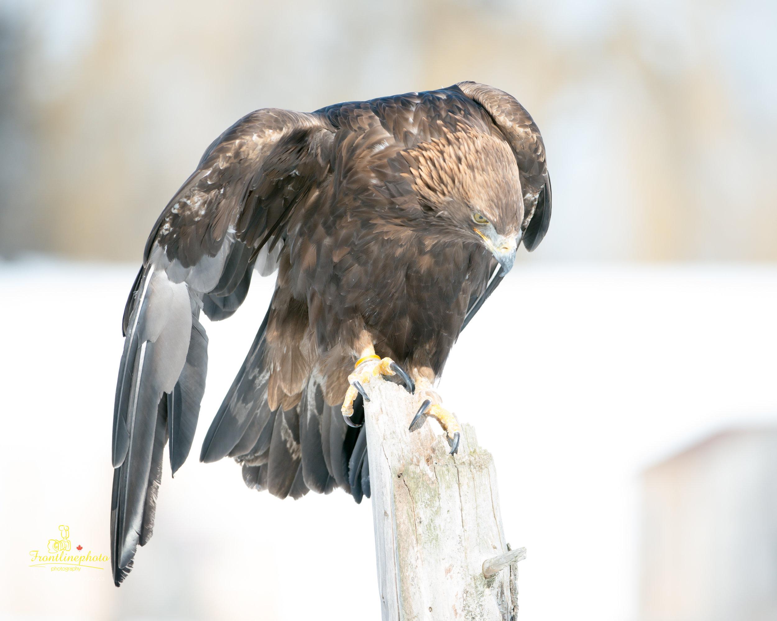 Hawk-1007.jpg