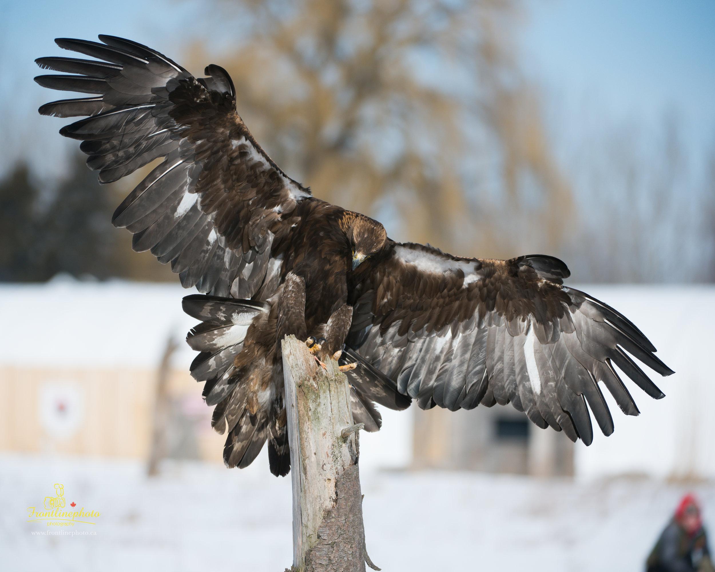 Hawk-1009.jpg