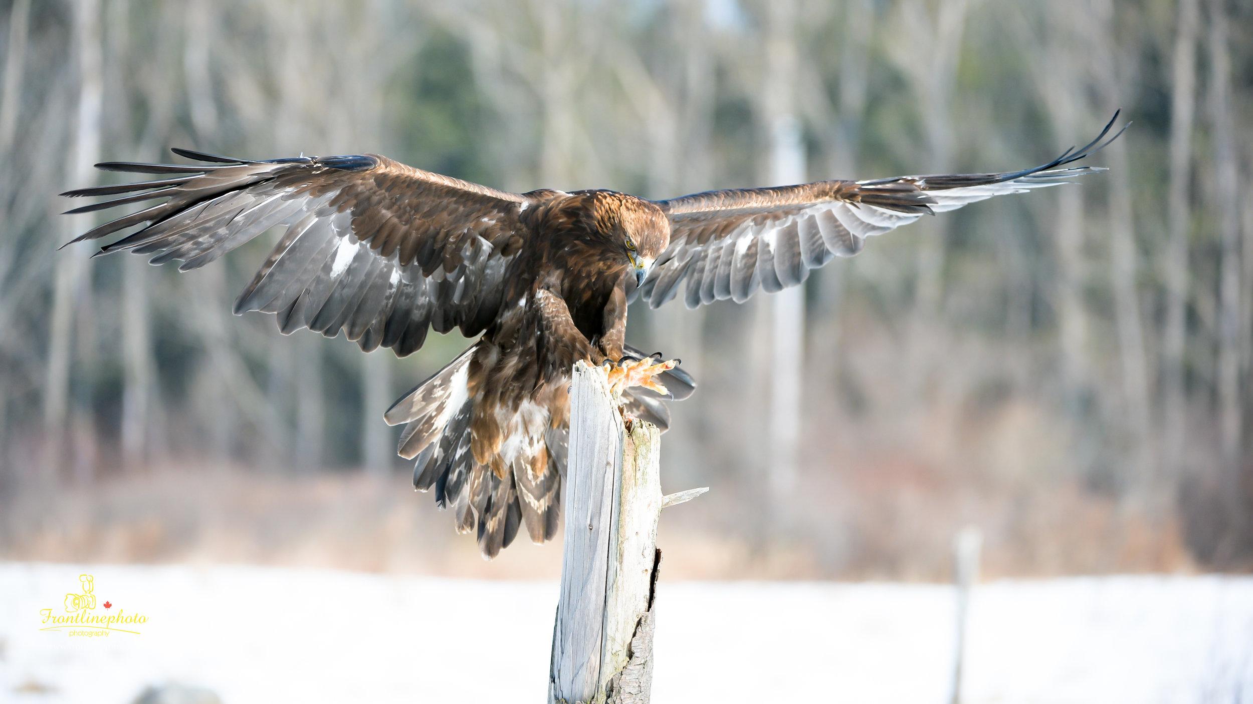 Hawk-1017.jpg