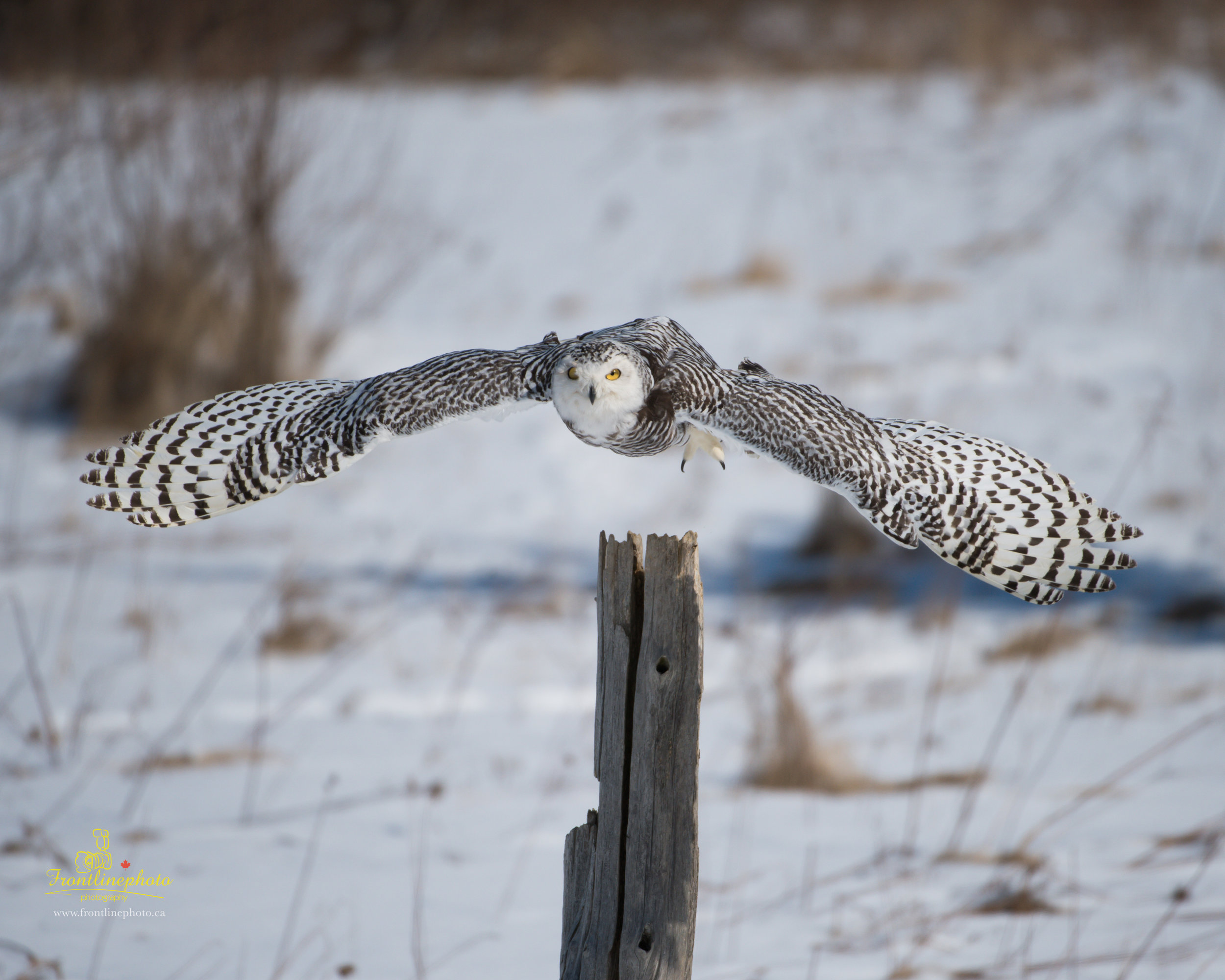 Snow Owl-1000.jpg