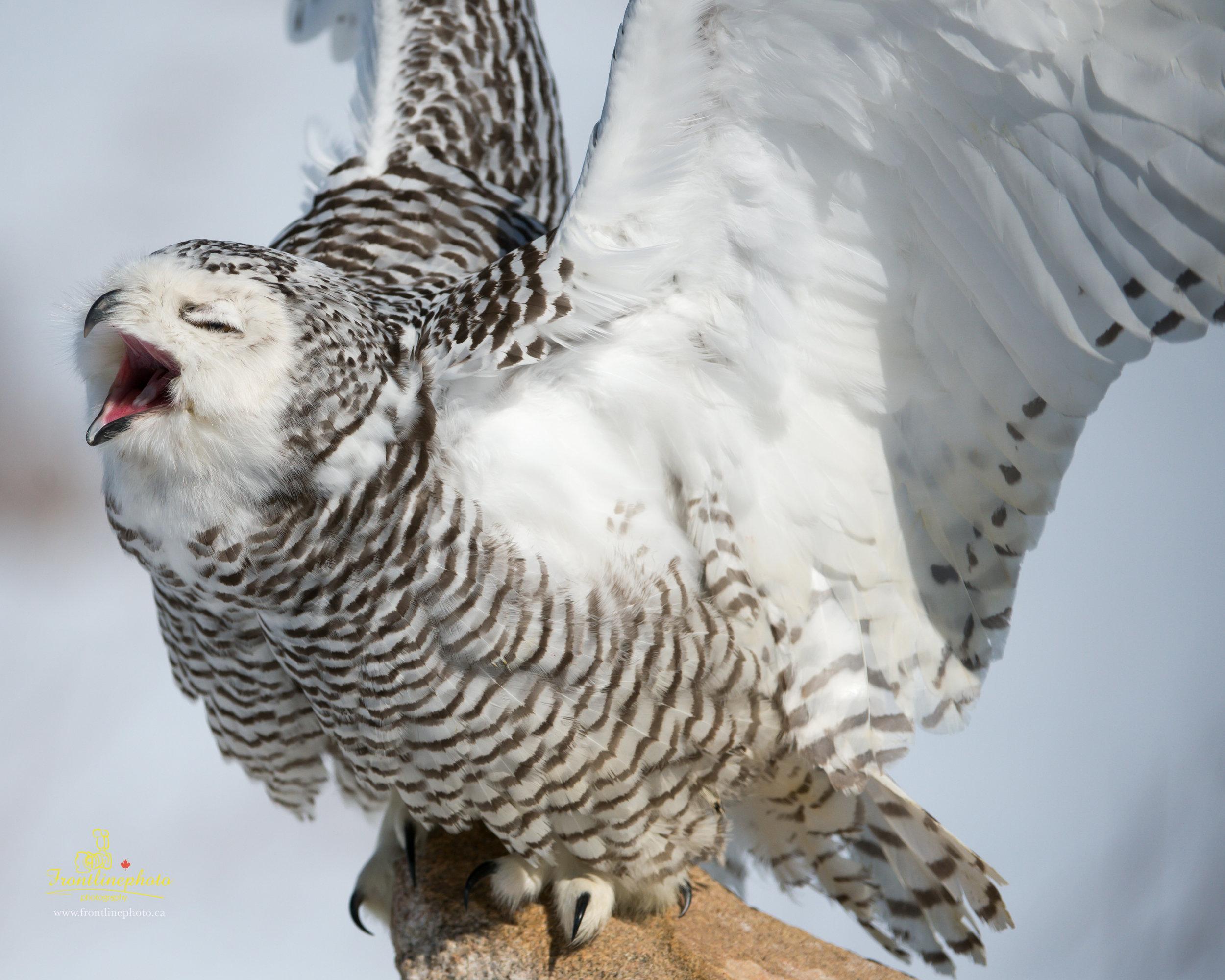 Snow Owl-1002.jpg