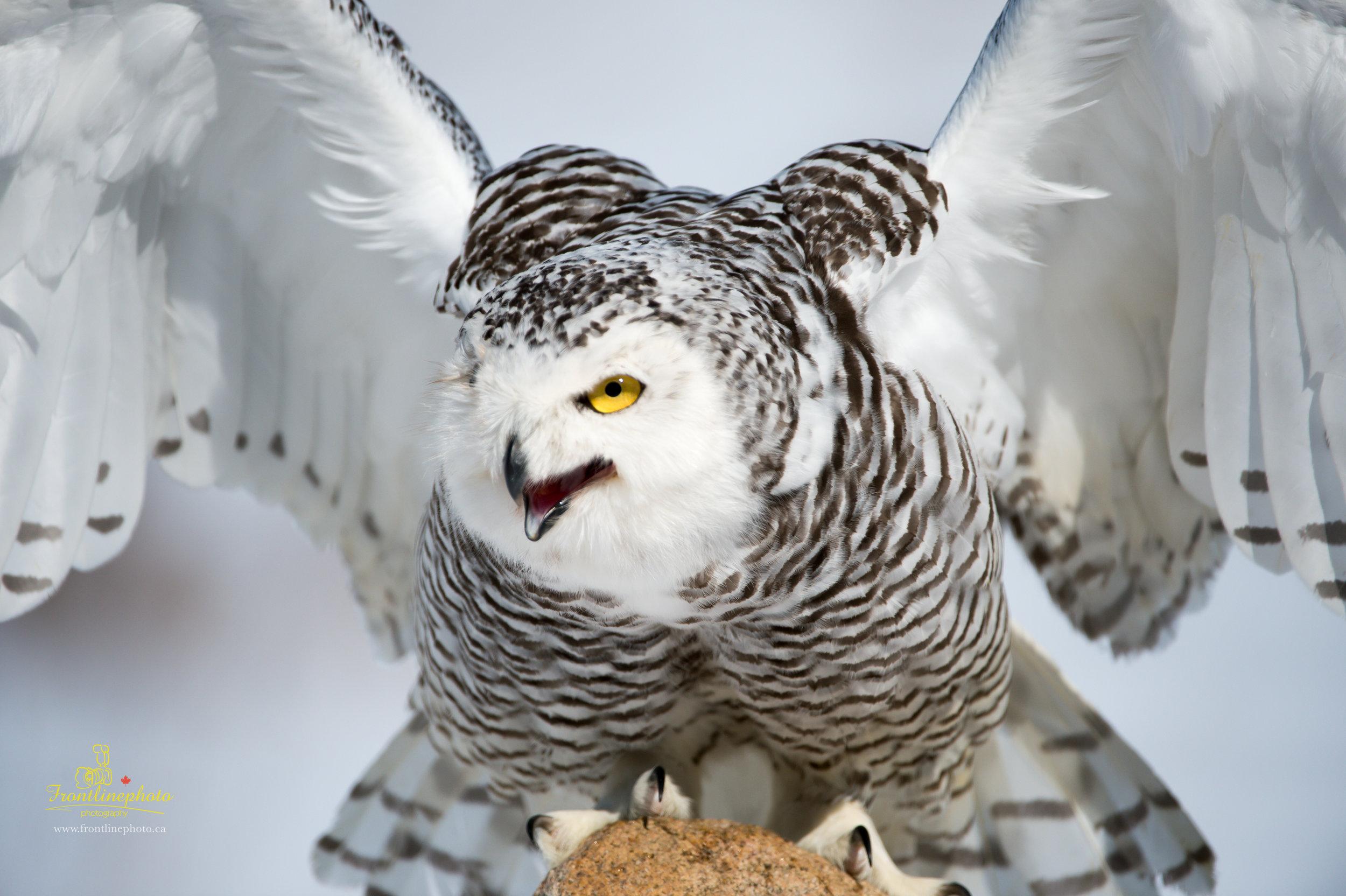 Snow Owl-1007.jpg