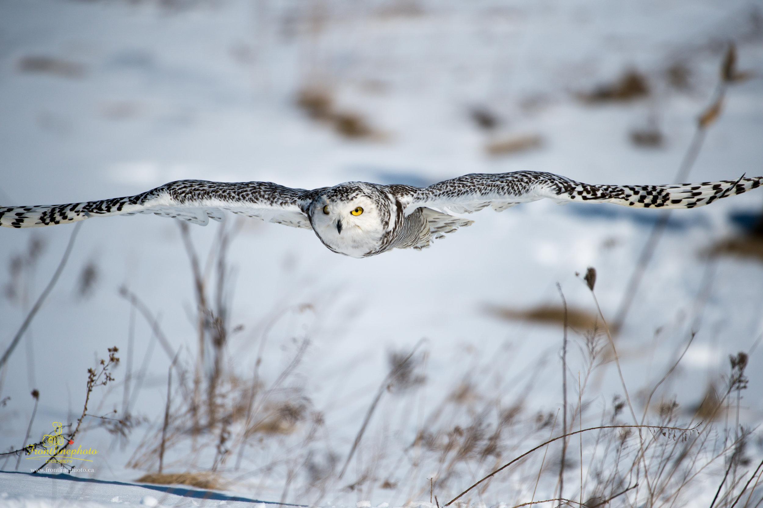 Snow Owl-1010.jpg