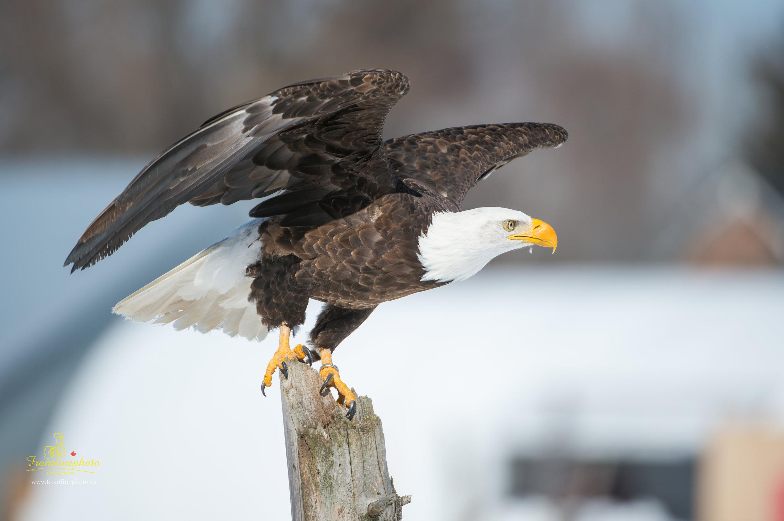 Canadian Raptors-1021.jpg