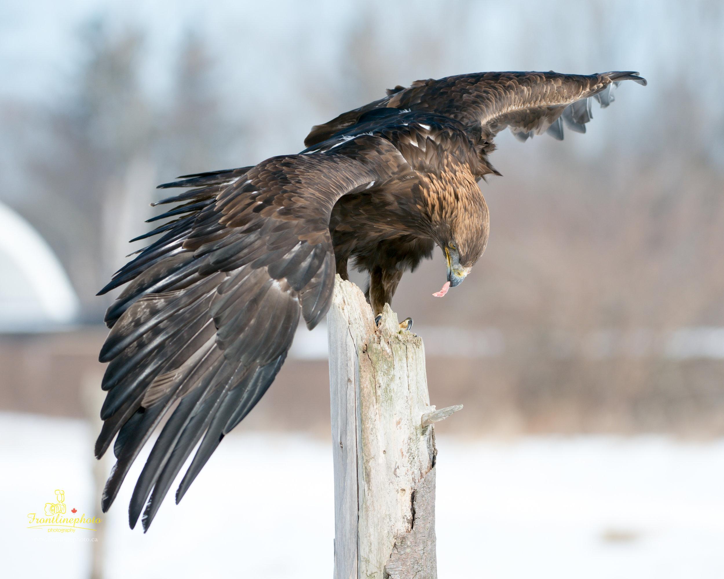 Hawk-1003.jpg
