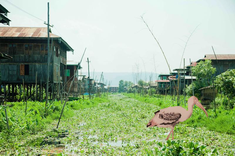Storking in Myanmar.jpg