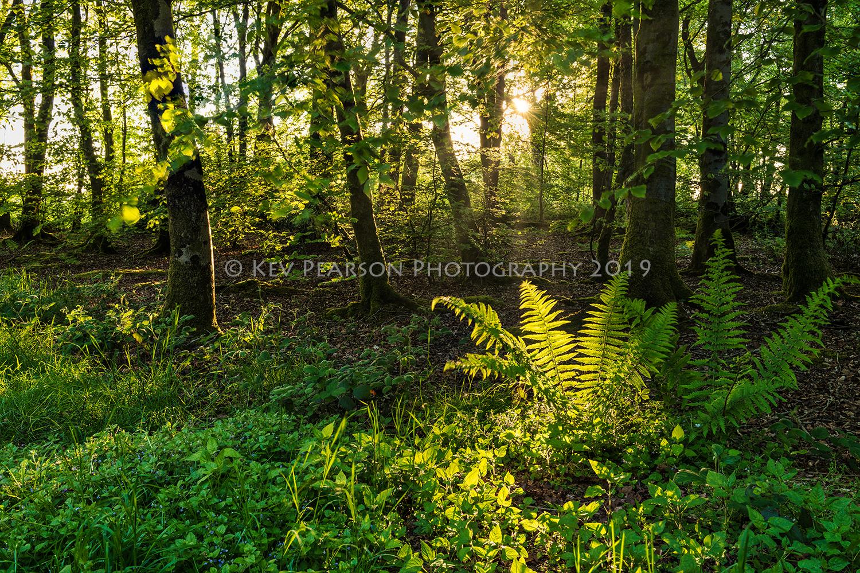 Sunlight on Ferns.jpg