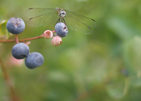 blueberries_14_11