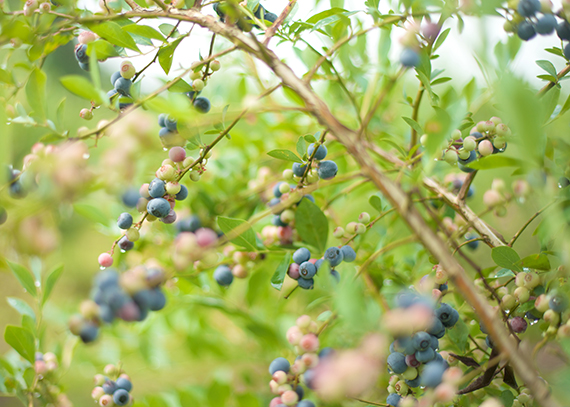 blueberries_14_7