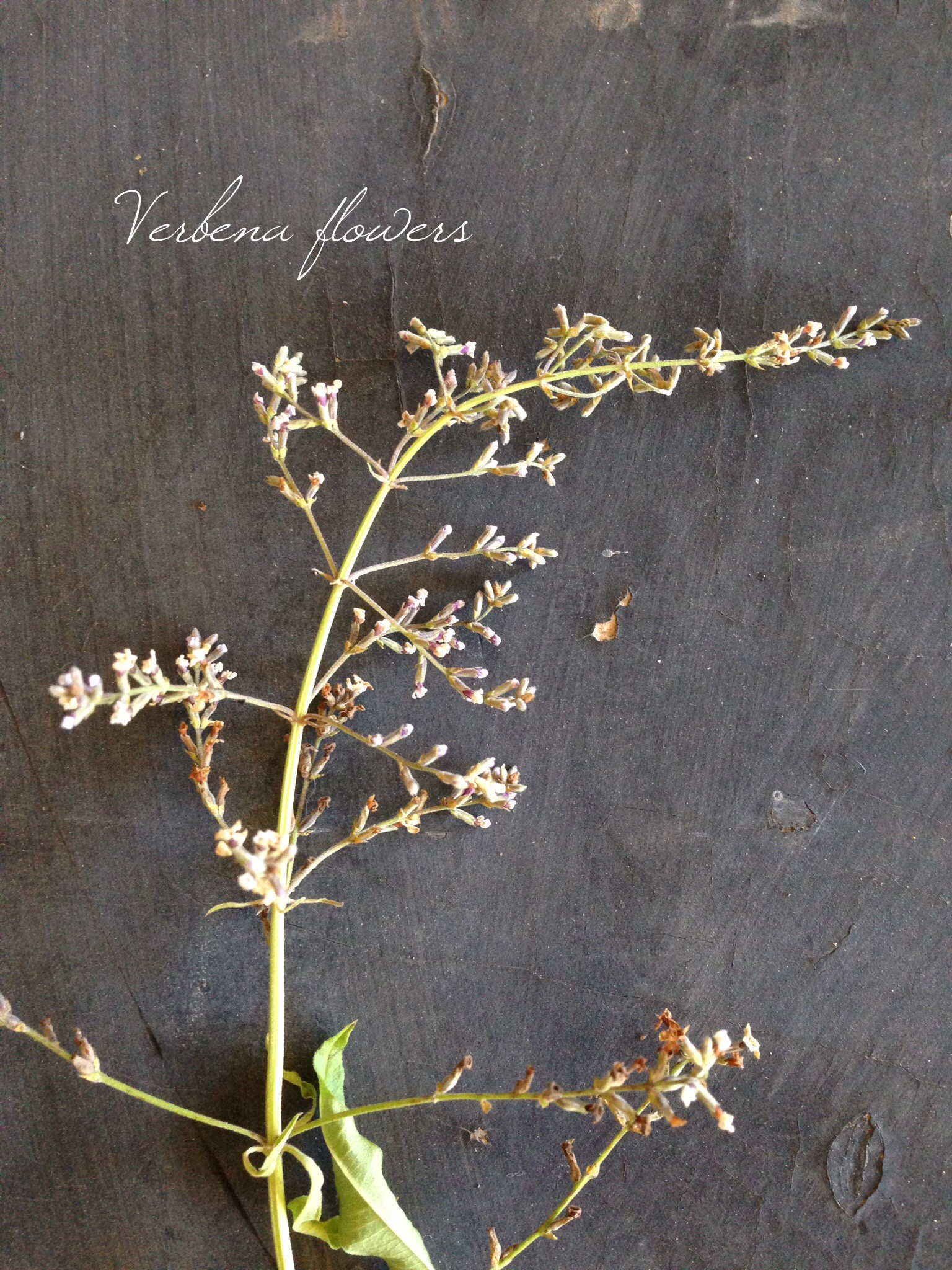 © Lisa Golden Schroeder. Use verbena blossoms to scent cream or a simple syrup to use in unique cocktails.