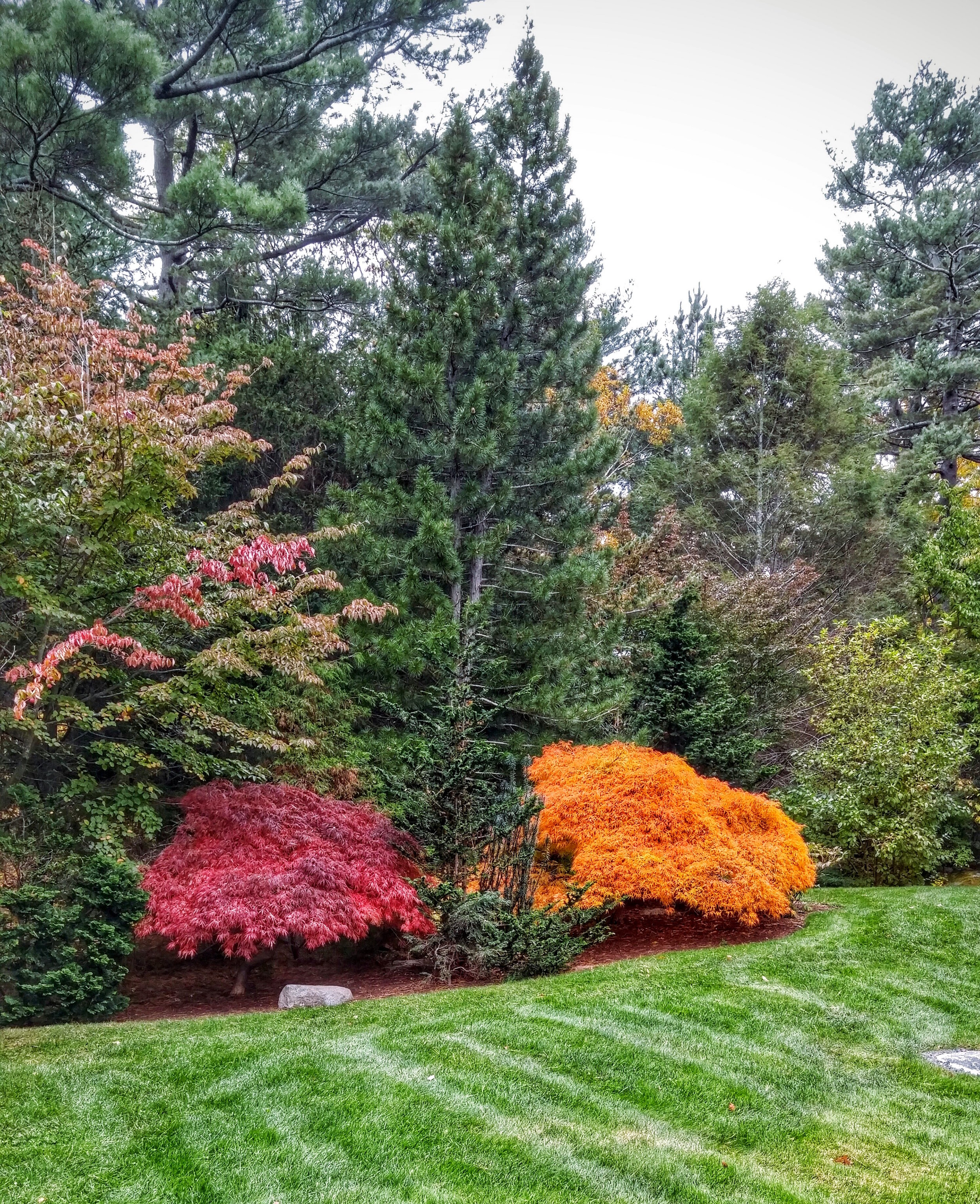 Landscape design utilizing Japanese maples for their vibrant fall colors.