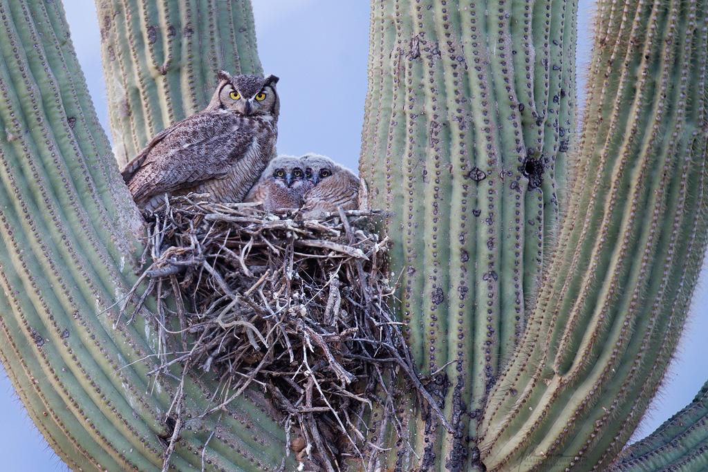 great-horned_owl_00423476w10.jpg