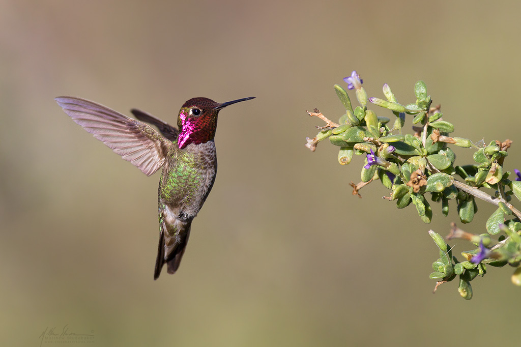 annas_hummingbird_1182w10.jpg
